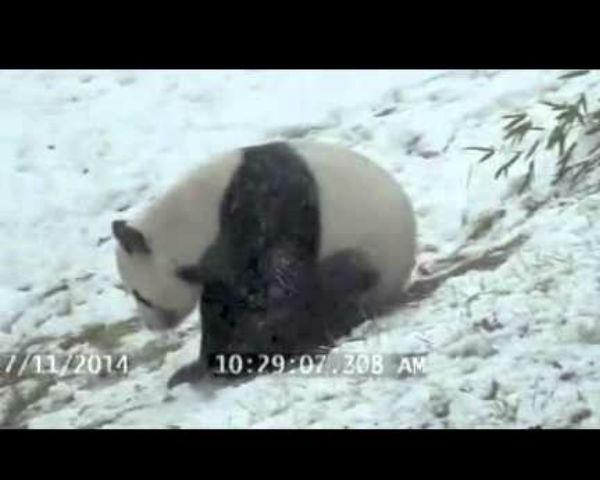 Toronto Zoo Panda Loves Snow