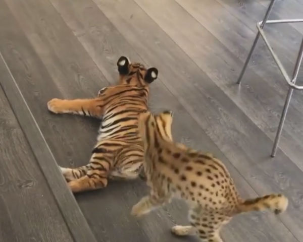 You won't find anything cuter than how this tiger reacts to a jaguar wanting to play