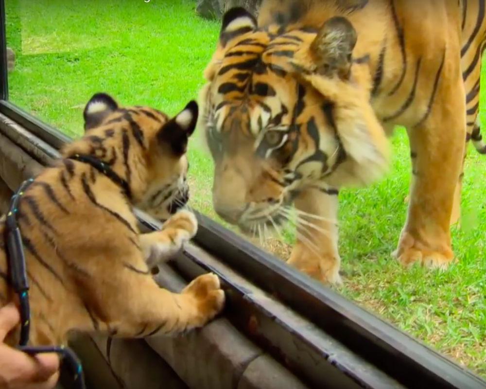 Tiger Meets Cubs