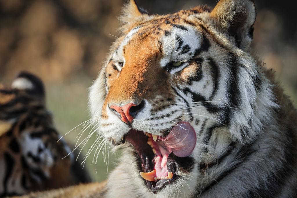 Joe Exotic/Tiger King