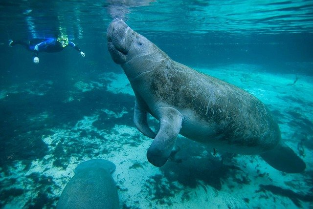 SeaWorld Remains Committed To Protecting Endangered Manatee Populations