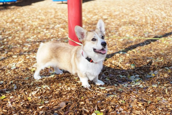 Dachshund corgi puppy