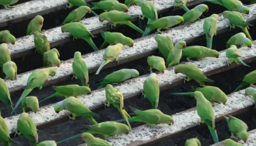 India's 'Birdman' Feeds 4,000 Parakeets Daily