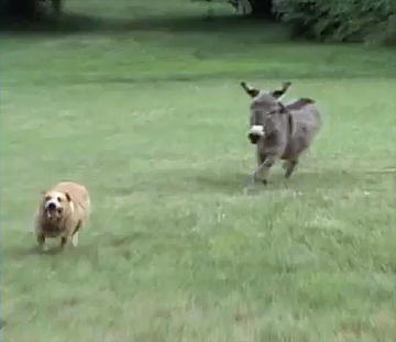 A Most Unlikely Pair: A Dog and A Donkey