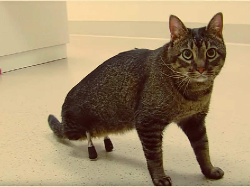 A cat with rare prosthetic legs
