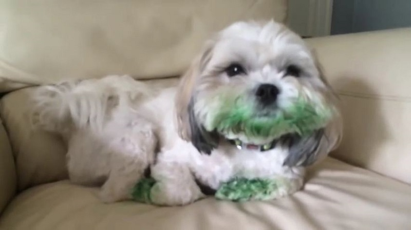 Little Dog All Covered In Green Didn't Eat No Food Coloring